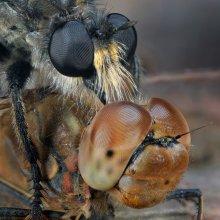 Охотник и жертва / Маленькая трагедия в мире насекомых-жертвой хищной мухи(ктыря) стала стрекоза
