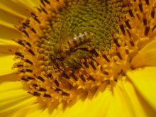 Пчела / макро