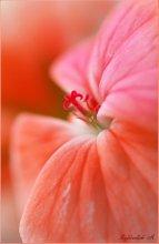Выход в красное 1 / Старался показать середину цветка....