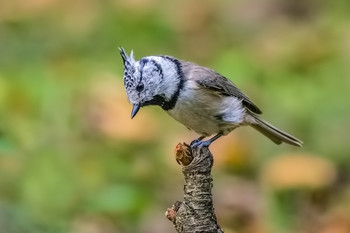 Гренадёрка. / Птица семейства синицевых.