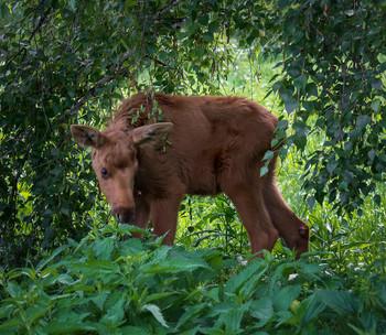 лосёнок.. / малыш немного хромал, мать его была где-то недалеко, но мы решили с ней не встречаться.