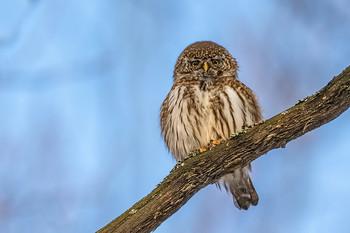 Сыч воробьиный. / Воробьиный сыч — очень маленькая сова, как и все представители рода воробьиных сычей. Длина его тела составляет 15—19 см, размах крыльев — 35—40 см, длина крыла — 9—11 см, вес — 55—80 г. Самки крупнее самцов.