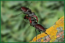 Бой жуков-оленей / Решающий момент боя - жук-победитель перебрасывает своего соперника через голову