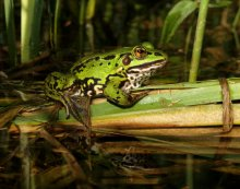 Прелесть болотная / Лягушка