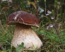 Царь / Белый гриб