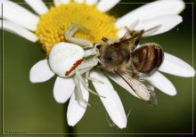 белый паук и пчела / Паук Misumena vatia схватил пчелу