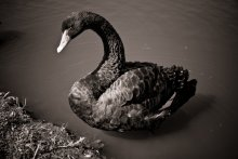 Чёрный лебедь / Cygnus atratus