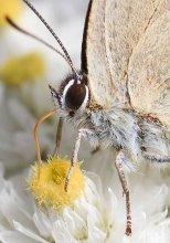 Lycaenidae / У ряда видов гусеницы живут в муравейниках, находясь с муравьями в симбиотических отношениях.Гусеницы и куколки голубянок выработали комплекс химических (лихневмоны) и акустических сигналов для контролирования поведения муравьев