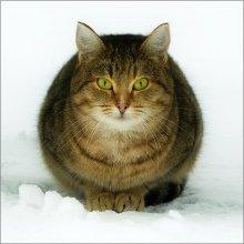 Фото на паспорт / Кот настоящий