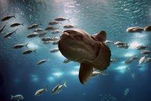 Бошой рыб... / Рыба-Луна.( классика)