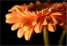 *Orange Love* / Цветы называются герберами. ну на всякий случай)