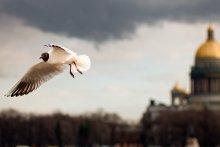 Над Невой / ...чайка....