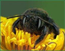 Портрет пчелы-плотника / Портрет необычной пчелы темно-синего цвета - пчелы-плотника