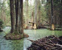 Там, где водятся бобры... / в лесах Бобруйщины