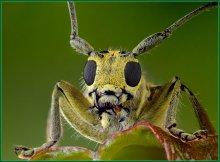 Портрет  жука-усача / Встретил привлекательного маленького жучка-заинтересовало необычное сочетание желтого цвета тела с черным цветом глаз