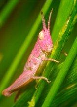 Кузнечик для блондинки / действительно розовый