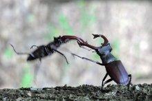 Решающий бросок / Бой жуков-оленей за источник дубового сока