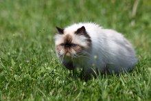 плюшевый охотник / Моя совсем домашняя кошка  на  первой в своей жизни прогулке.