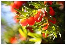 Бабье лето / тисс ягодный
