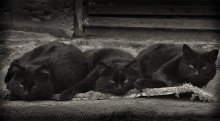 Бандиты / Члены организованной преступной группировки «Черная кошка».