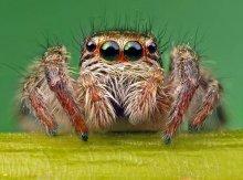 Портрет паука-скакуна / Паук-скакун,снятый в масштабе 5:1