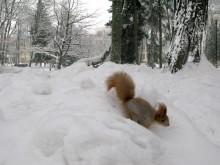 """переход суворова через альпы / очень активный """"суворов"""" - конкурентов всех прочь! по снегу как на лыжах! кайфовый бельчонок! делюсь хорошим настроением :)"""