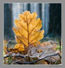 Стойкий дубовый листок. / ......