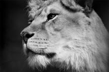 Кто лев - тот прав! / Взгляд может быть угрожающим не менее, чем заряженное и нацеленное на человека ружье, взгляд может обидеть, как плевок или удар; но он может и лучиться добротой, и заставить сердце плясать от радости.  ©  Ральф Уолдо Эмерсон