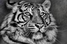 Тигр обид не глотает. / Свинья не съест, если дружить с Тигром! ©