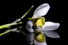 Весна идёт,весне дарогу / Первые цветы на моем газоне