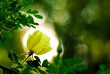 Силуэт / цветок шиповника на просвет