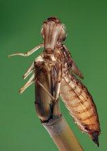 """Марсианин / Снимок экзувия стрекозы - пустого чехольчика,который остается после рождения взрослой стрекозы из личинки.Пустой чехольчик полностью воспроизводит внешний вид бывшей личинки -брюшко,лапки,даже фасетки на глазах.Обычно сразу же после рождения экзувий склевывается птицами или сдувается ветром в воду,а новорожденная стрекоза совершает свой первый полет.Снятый на просвет,чехольчик производит впечатление диковинного инопланетянина с прозрачными глазами и большим """"носом"""". 64 кадра,снятые с шагом 0,5 мм  и сшитые в один кадр с ГРИП 32мм"""