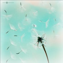 dandelion clock / dandelion clock