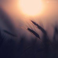 ear of wheat, sunset / ear of wheat, sunset
