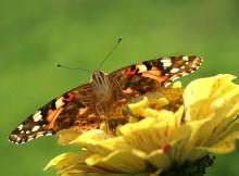 Репейница / http://lepidoptera.ru/species/vanessa-cardui/ съёмка с рук