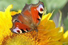 Бабочка / С рук.