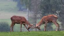Гон оленей. / Гон начинается осенью В период гона возможны драки между самцами, благодаря которым животные устанавливают первенство. Соперники сталкиваются рогами, пытаясь сбить с ног друг друга. Более слабые самцы быстро покидают поле боя. Узнать, сильный самец или слабый, можно не только по внешнему виду, но даже по голосу. У сильного и более опытного оленя голос хриплый и низкий, а у молодого и слабого — более высокий и чистый. Поединки крайне редко заканчиваются трагически, хотя бывали случаи, когда самцы ломали рога, или так переплетались ими, что не могли самостоятельно расцепиться и просто умирали от голода.