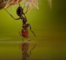 ВВЕРХ  ТОРМАШКАМИ / висящий муравей