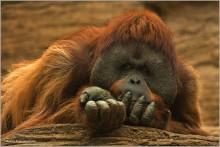 """Philosopher / Снято в зоопарке. Но внести орангутана в категорию """"домашние животные"""" не поднялась рука."""