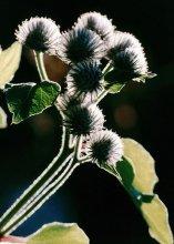 Репейник... / Растение такое :-)))