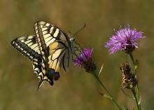 Вспоминая июль / Никогда ранее я не встречал так много этих бабочек, как в этом году в Июле месяце.