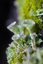 Кладония бахромчатая / Cladonia fimbriata
