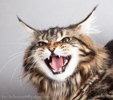 Гневная. / Кошечке породы мейн кун показывали котика британца, он ей не понравился :)