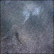 Скат акулохвостый. (Гитарник) / Абу Дабаб