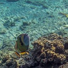 Смех балистода / Синеперый балистод без причины не нападает на ныряльщиков, но человека не боится, и при защите гнезда опасен. Зубы крепкие - раскусывает кораллы, морских ежей и крабов. Несколько лет назад сам испытал на себе нападение при защите гнезда с икрой. Лучше в это время в зону его охраны не заплывать. Отбивался ластами, а он буквально их кусал.
