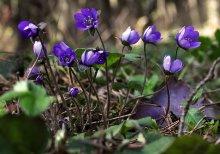 Цветы весеннего леса / *****
