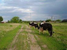 Коровы или жизнь в деревне. / Домашние животные возвращаются домой.