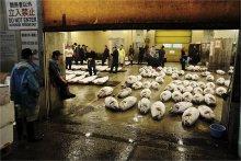 Утро в Цукидзи / Рыбный рынок Цукидзи в Токио. Около 5 утра.   Подготовка к биржевым торгам тунца.
