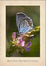 Голубяночка / Много их фото, но они такие симпотичные