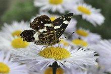Бабочка / Красавица на цветке.